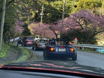 八重岳の桜2