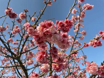 八重岳の桜アップ